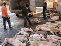 2000多吨病死猪肉从福建流向多地餐桌
